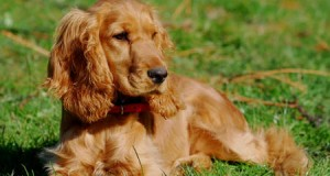 Вчені навчилися визначати настрій собаки по рухах її хвоста