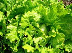 У зеленому салаті знаходиться засіб від раку