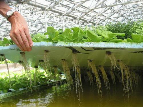 Вирощування рослин з допомогою методу гідропоніки