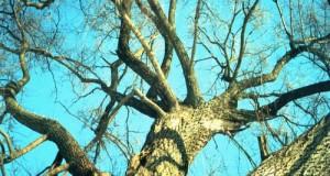 Старі дерева ростуть швидше (і поглинають більше CO2)