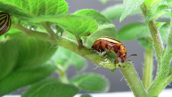 Photo of Вчені вбудували біозброю в картоплю для захисту від колорадських жуків