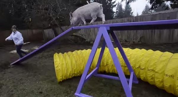 Photo of Найрозумнішою собакою виявилося порося (відео)