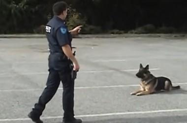 Photo of Справжня поліцейська собака повинна вміти все (відео)