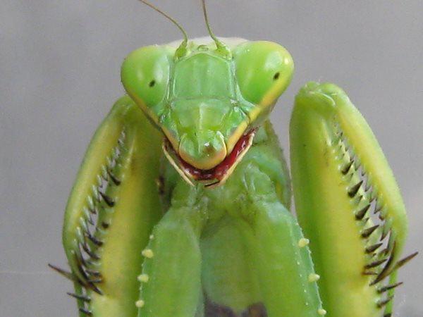 Photo of Біологи вперше зняли на камеру стрибок богомола (відео)
