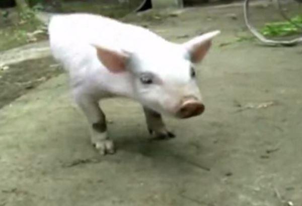 Photo of Безноге порося навчилося ходити на передніх кінцівках (відео)