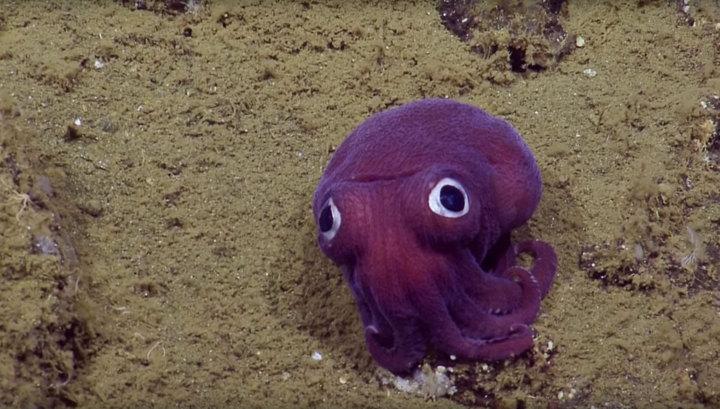 Photo of Біля берегів Каліфорнії знайшли незвичайного кальмара (відео)