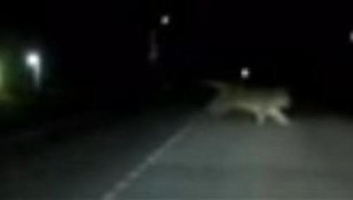 Photo of По Владивостоку гуляє дикий тигр (відео)