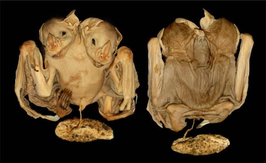 Photo of У Бразилії знайшли кажана з двома головами