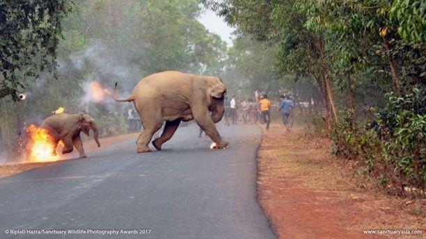 Photo of Два слона були атаковані в східній Індії натовпом людей заради забави (фото)