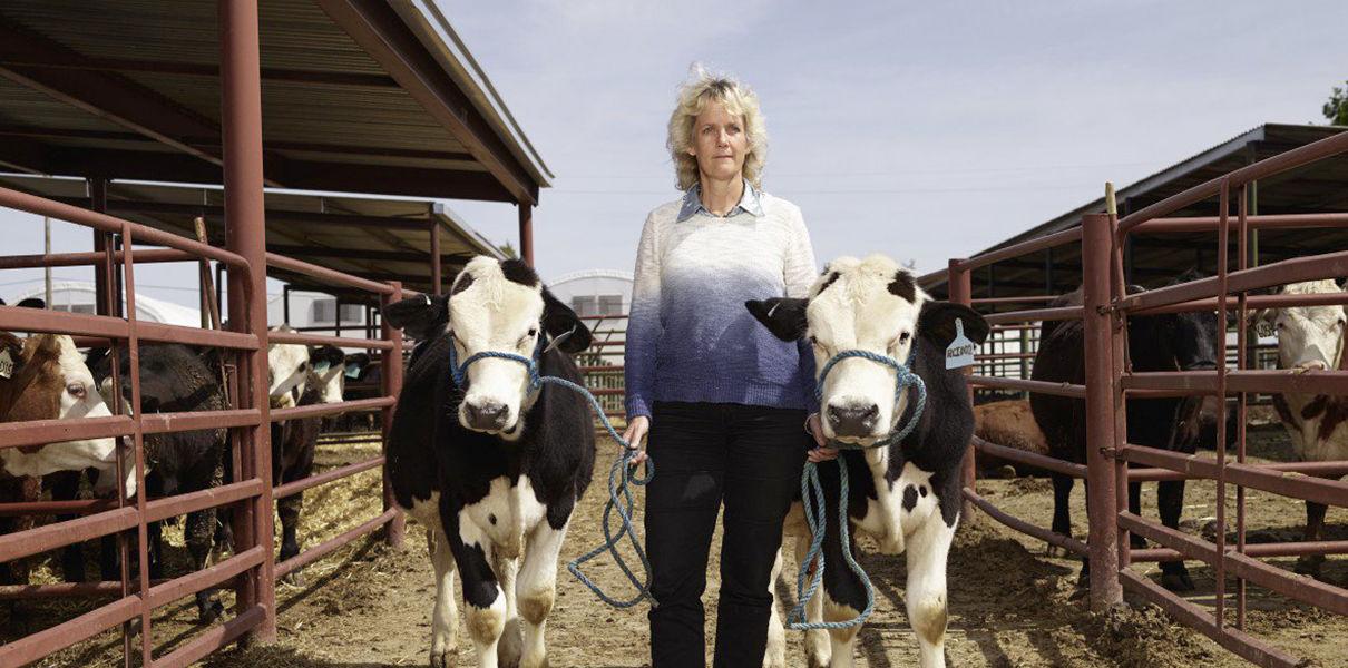 Photo of Генетики перетворюють корів у биків за допомогою CRISPR
