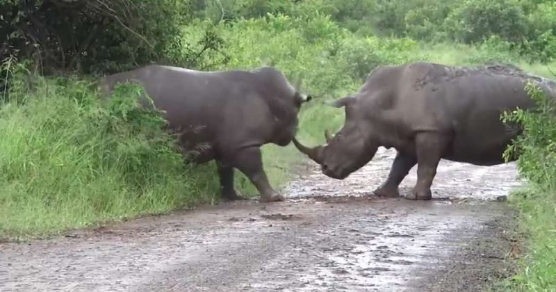 Photo of Битва двох носорогів потрапила на відео
