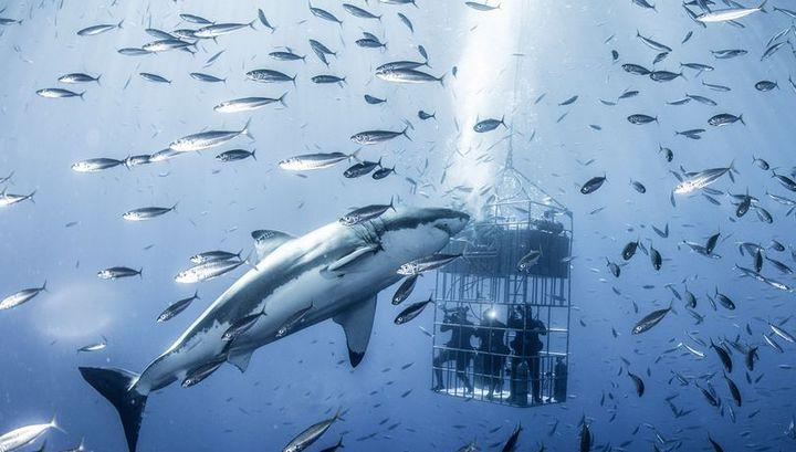 Photo of Дайвери в клітці ледь не стали сніданком для гігантської білої акули