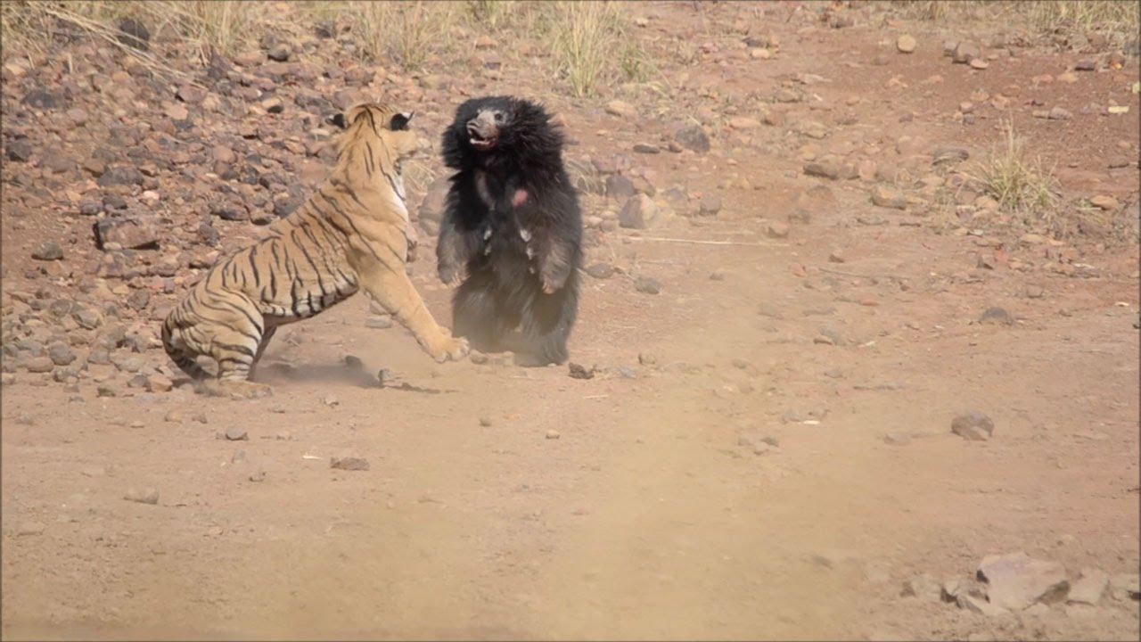 Photo of Сутичка ведмедя з тигром потрапила на відео