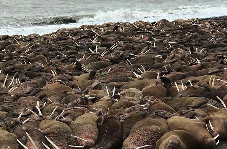 Photo of Тисячі моржів окупували селище на Алясці
