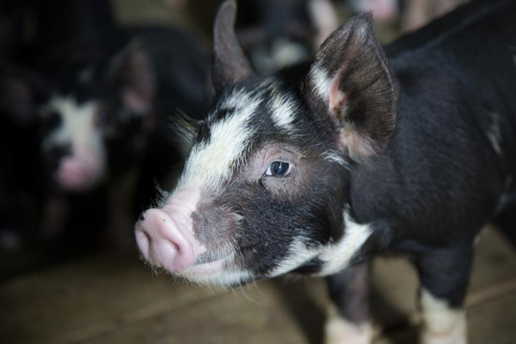 Photo of Вчені змогли «оживити» мозок померлої свині