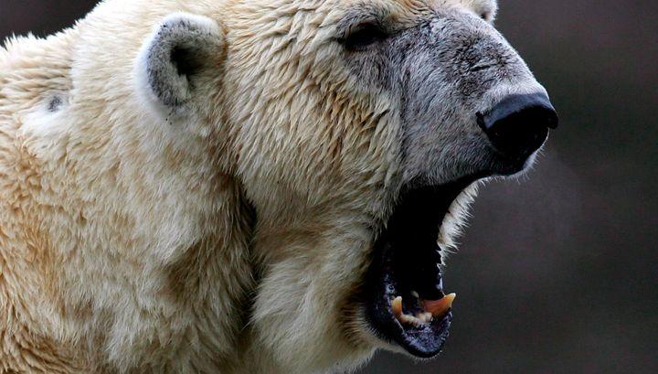 Photo of У Канаді білий ведмідь розірвав людину