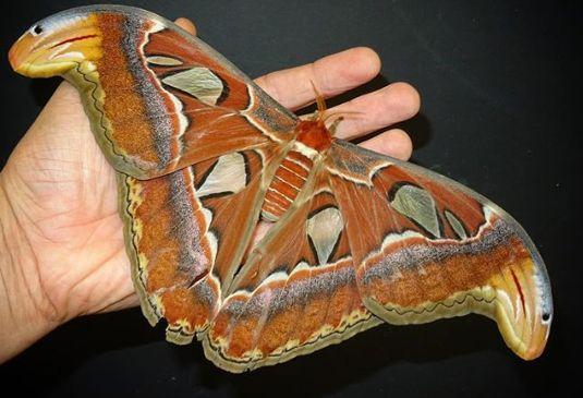 Photo of Метелики навчились прикидатися хижаками (фото+відео)