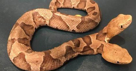Photo of У Вірджинії зловили рідкісну двоголову змію