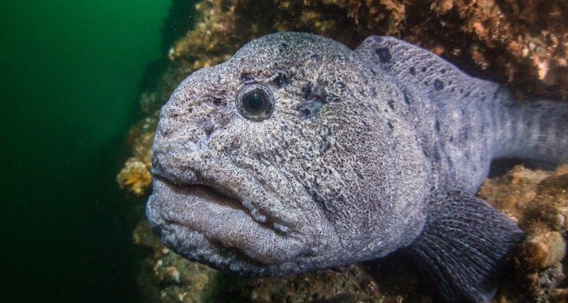 Photo of Жахлива риба з людським обличчям (відео)