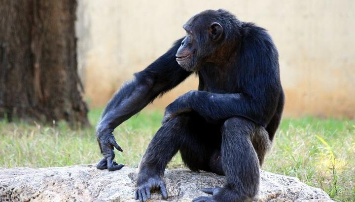 Photo of Шимпанзе можуть маніпулювати іншими заради отримання вигоди