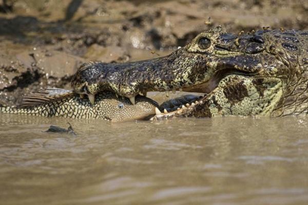 Photo of Голодний крокодил вбив пастуха в Індії