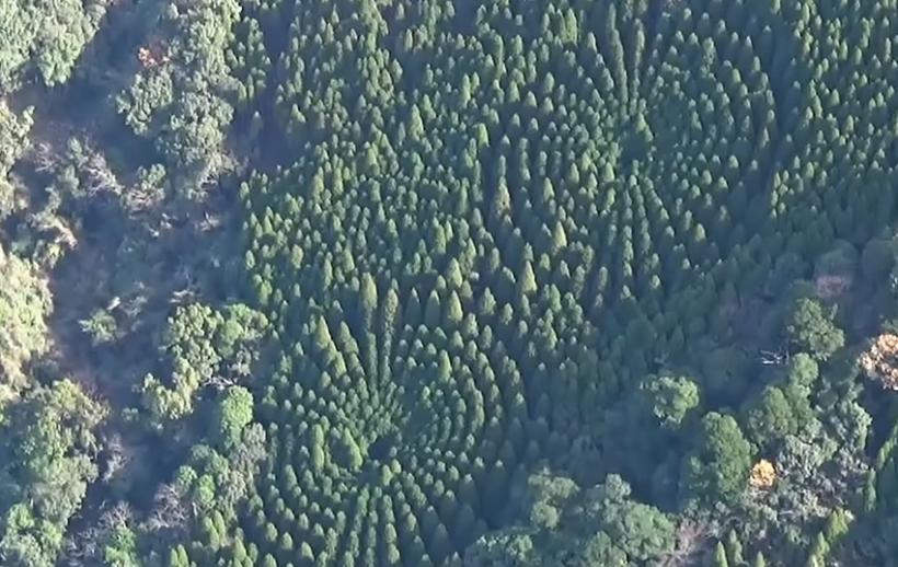 Photo of Вчені дізналися «таємницю» японського сферичного лісу на острові Кюсю