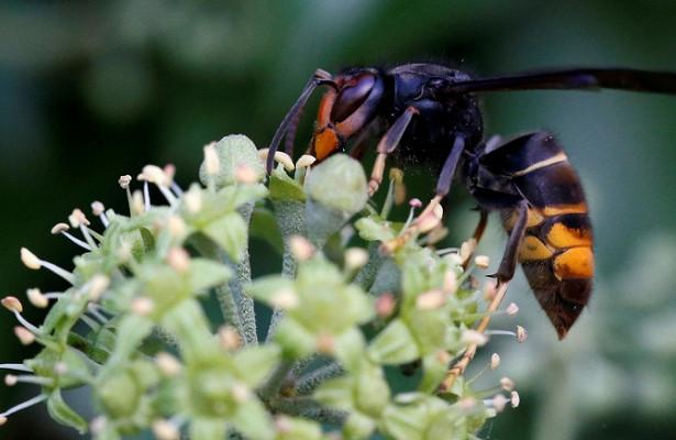 Photo of Британії загрожує навала смертоносних азіатських шершнів