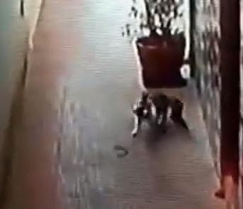 Photo of В Індії кіт захистив своїх господарів від кобри
