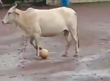 Photo of В Індії з'явилася корова-футболіст
