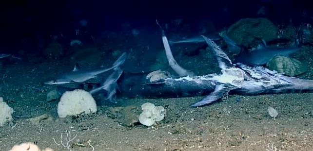 Photo of Зграя акул влаштувала бенкет на морському дні