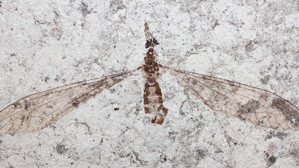 Photo of Палеонтологи розглянули очі стародавнього комара