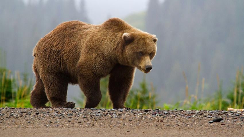 Photo of Вчені розповіли про глобальне збільшення агресії ведмедів до людей