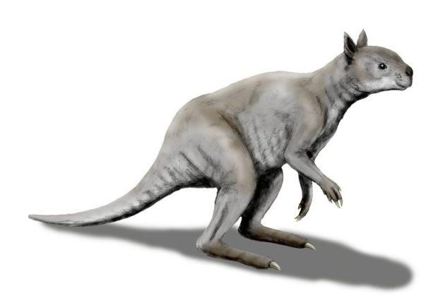 Photo of Стародавній кенгуру був схожий на панду