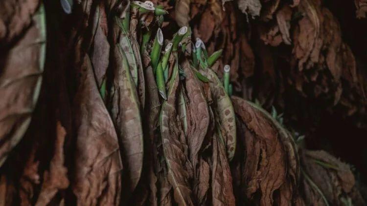Photo of Матеріал, створений з тютюнового листя, виявився таким же міцним, як дерево або пластик