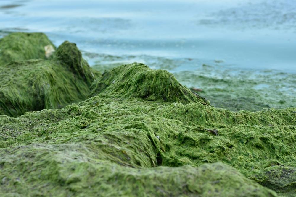 Photo of Підвищення температури змусило токсичні водорості цвісти триваліше й інтенсивніше