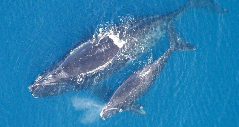 Photo of Південні кити рятуються від косаток, переходячи на шепіт