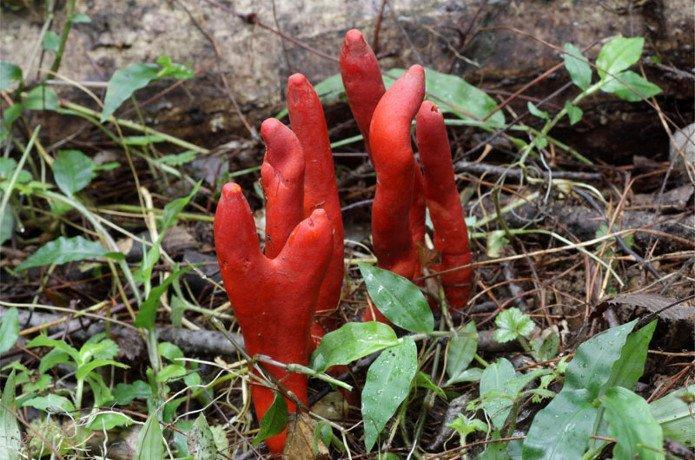 Photo of Один з найбільш отруйних грибів в світі проник з Японії до Австралії