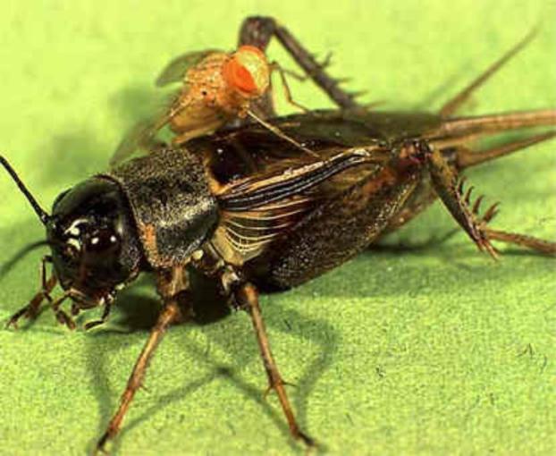 Photo of Міський шум захистив цвіркунів від паразитів
