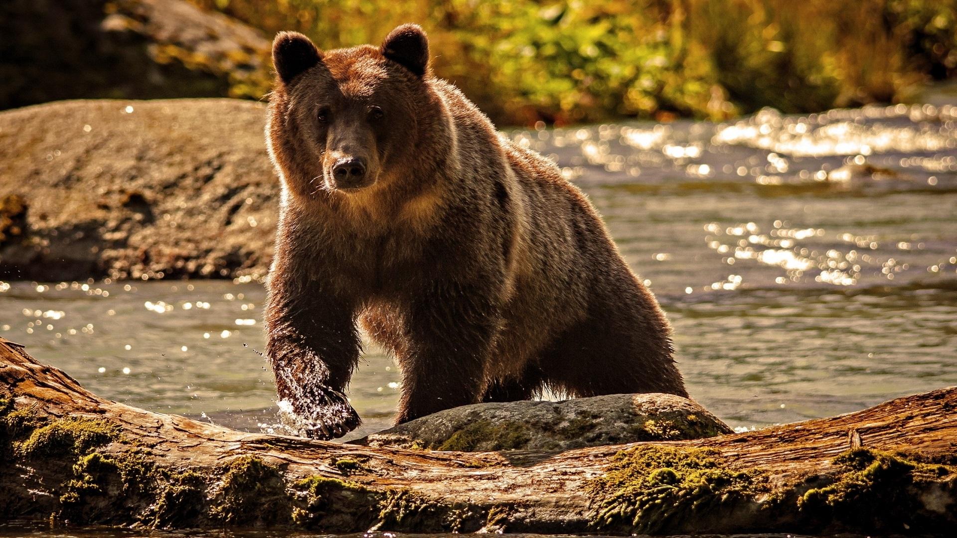 Photo of Ведмеді гризлі почали мігрувати через зміни клімату