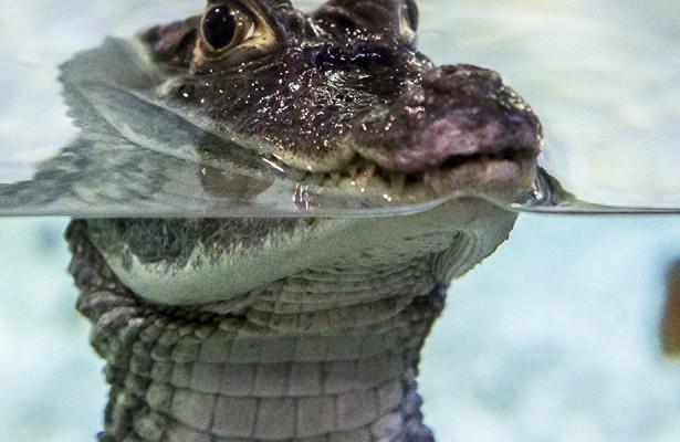 Photo of Крокодили вміють бігати галопом