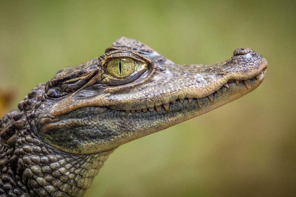 Photo of Дослідження: п'ять видів крокодилів можуть бігати галопом