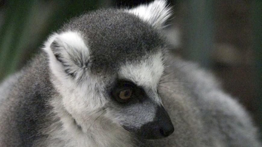 Photo of Лемури можуть повністю зникнути з-за глобального потепління