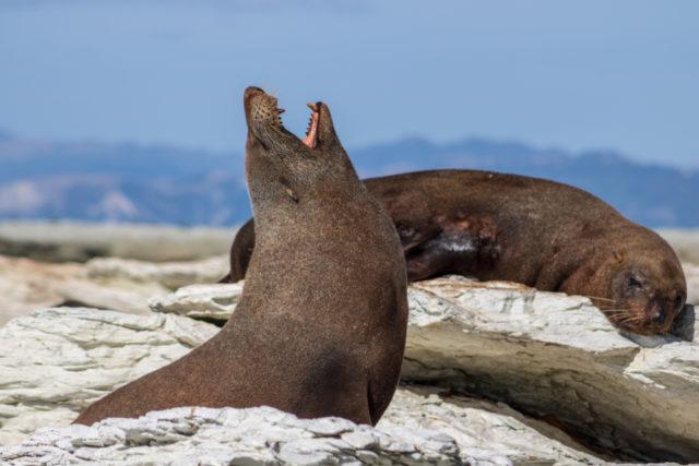 Photo of Вчені з'ясували, чому морські леви так часто позіхають