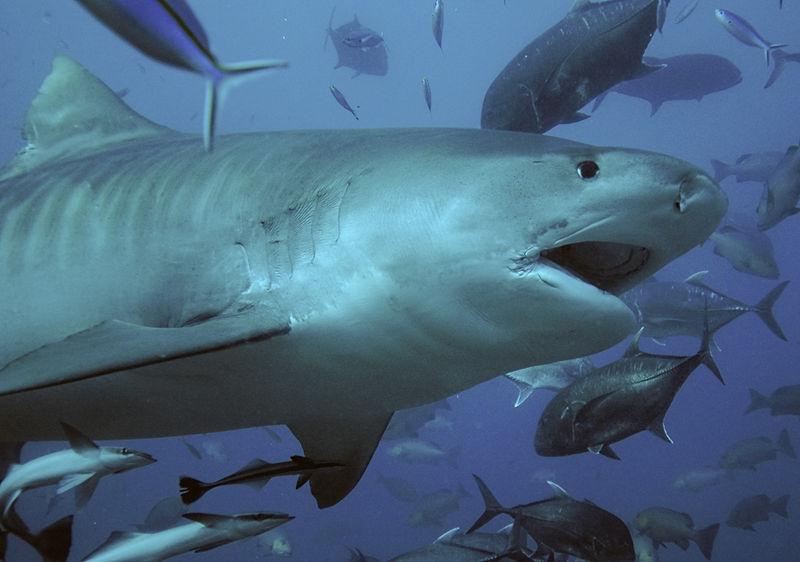 Photo of Тигрові акули стають жертвами морських ДТП-зіткнення з торговими судами