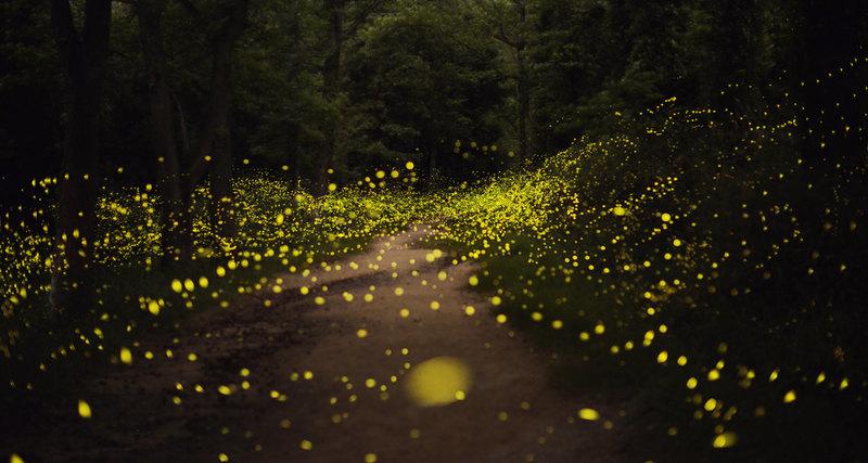 Photo of Світлячки зникають з обличчя Землі з вини людини