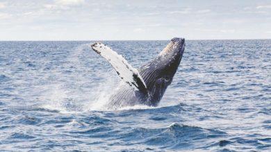 Photo of Дослідження: кити мігрують в тропіки, щоб скинути шкіру