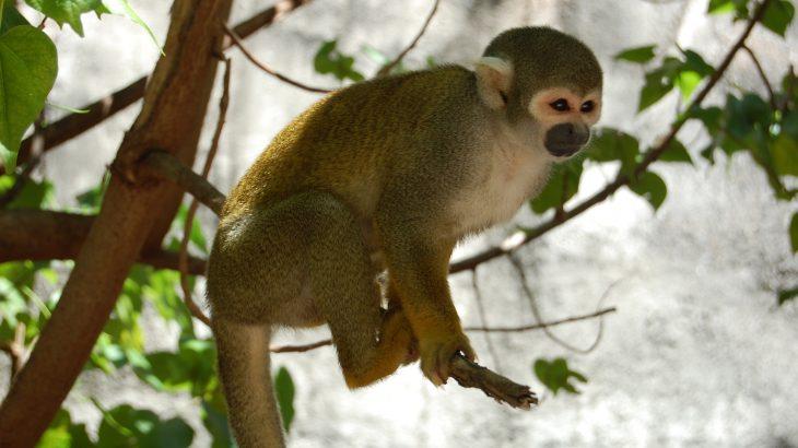 Photo of Південноамериканські мавпи стикаються з ризиком вимирання через зміни клімату