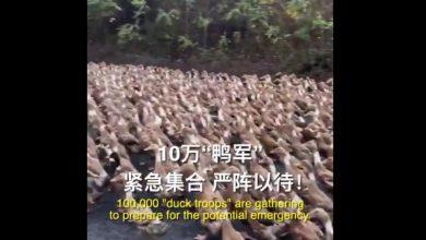 Photo of Китай створив «качину армію» для боротьби з нашестям сарани