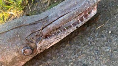 Photo of На березі Уельсу знайшли загадкову істоту, схожу на крокодила