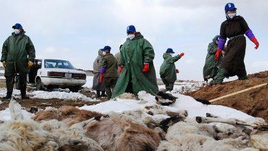 Photo of Зараз в Монголії так холодно, що більше 55 000 голів худоби замерзли насмерть